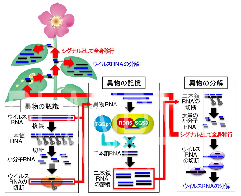 宿主のウイルス排除網をかいくぐれ ~宿主発の分解指令を阻止するウイルスタンパク質発見:阻止の様子可視化に成功~
