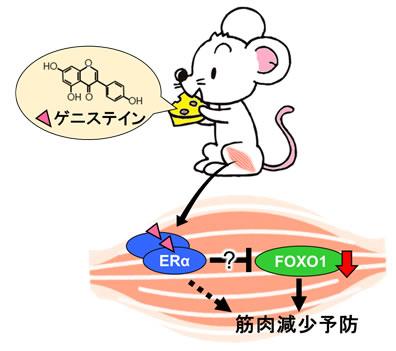 大豆イソフラボンによる筋肉減少...