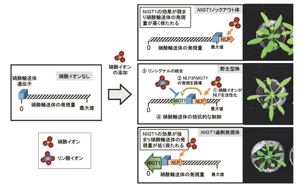 酸 イオン リン
