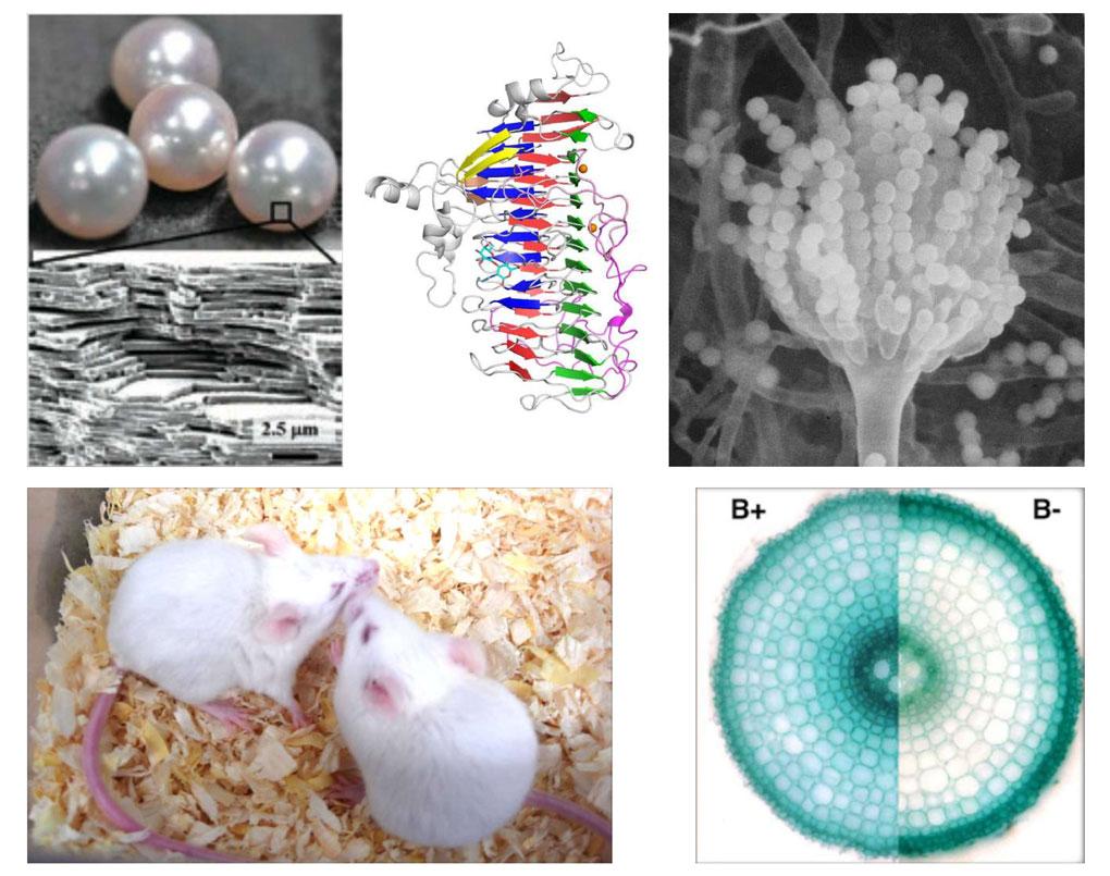 真珠の層状構造、ビフィズス菌の酵素、麹菌の分生子形成器官+異性とのフェロモンコミュニケーションをとるマウス、ホウ素非欠乏と欠乏のイネの根の断面